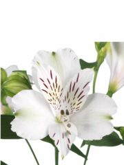 Alstroemeria_SNIJ_Everest