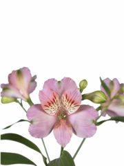 Alstroemeria_SNIJ_Kitty
