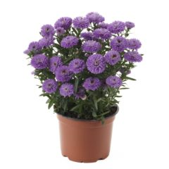 Aster_Showmakers_PurpleDelight_pot