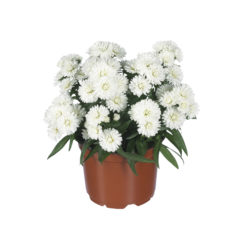 Aster_Showmakers_SnowWhite_pot