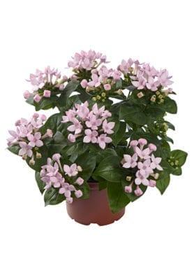 Bellevardia® Blossom Pink
