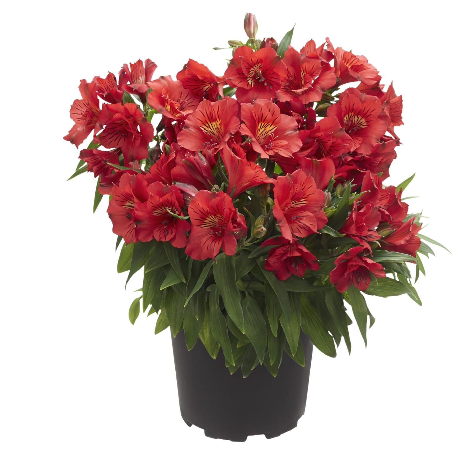 Цветы доставкой, цветок альстромерия где купить