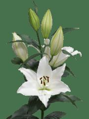 Lilium-Arletta