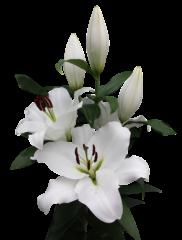 lilium-bendigo
