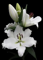 lilium-genzano