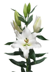 Lilium-Sedano