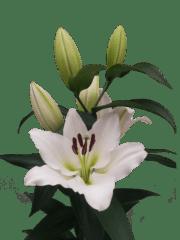Lilium-Tisento