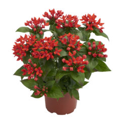Bellevardia® Fire Red