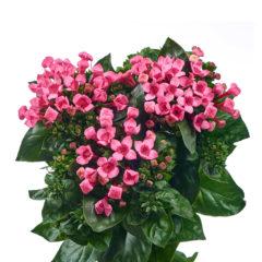 RVZ_bouvardia_Majestic_Hot_Pink