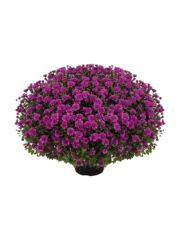 Araxa Purple_vrijstaand_ISOv300