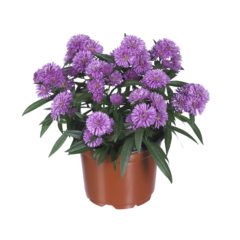 Aster_Showmakers_FreshPink_pot