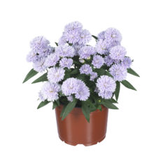 Aster_Showmakers_LilacSunset_pot