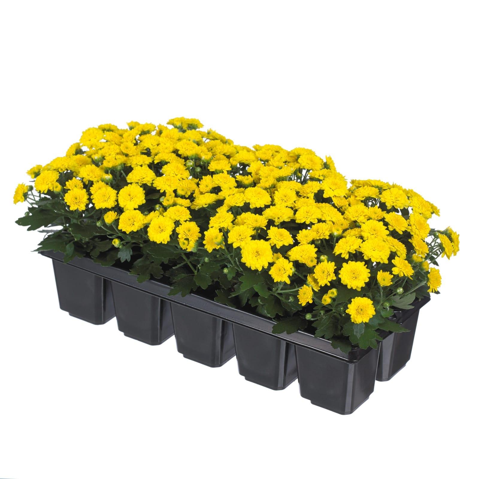Baby Mum Yellow Imp Royal Van Zanten
