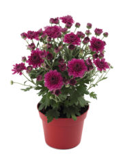 Blooming Beauty Purple Pot_vrijstaand_ISOV300