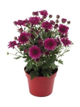 Blooming Beauty™ Purple