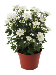 Blooming Beauty White pot_vrijstaand_ISOV300