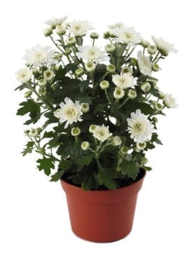 Blooming Beauty™ White