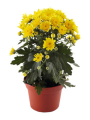 Blooming Beauty Yellow pot_vrijstaand_ISOV300