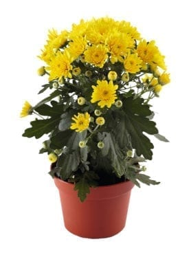 Blooming Beauty™ Yellow