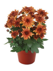 Blooming beauty orange deluxe pot