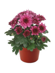 Blooming beauty pink deluxe pot