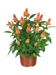 Celosia Merida orange pot