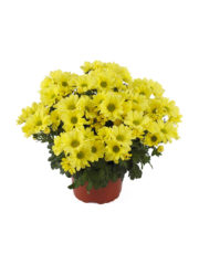 Mount Runca Yellow 405830 Pot