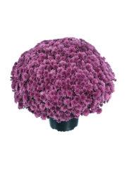 Paradiso Purplepot14