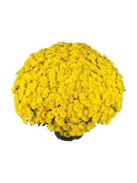 Paradiso Yellow