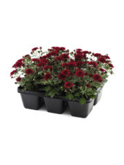 Patio Mum Red Tray_ISOV300