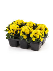 Patio Mum yellow ('13 4198) Tray