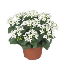 Potbouvardia_WhiteVerde_pot