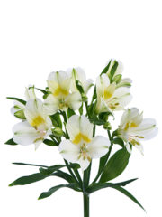 RVZ_alstroemeria_icecream
