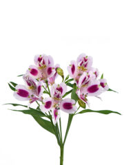RVZ_alstroemeria_mayfair