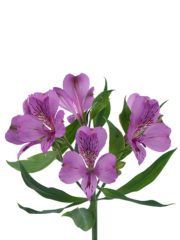 RVZ_alstroemeria_movia