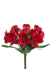 RVZ_alstroemeria_red_delight