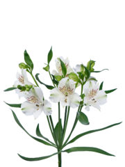 RVZ_alstroemeria_virginia 1