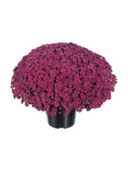 Rosanna Darkpurple pot14
