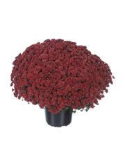 Rosanna Red pot14