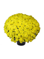 Sorento 10-010462-03_Yellow POT