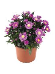 Tiara Orchid Pink Pot_ISOV300