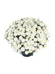 Chrysant 32.311 whiteswan
