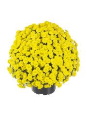 Zsa zsa Yellowpot