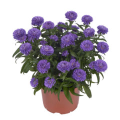 rvz_aster_showmakers_endless_blue_pot