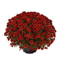 Amadore® Red