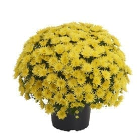 Blomski Yellow