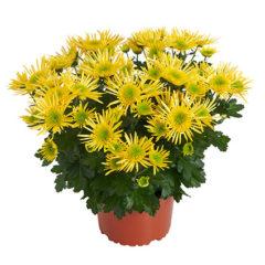 Corcovado Yellow