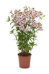 Garden Jewel®  Lilac Blush