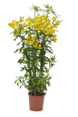 Garden Jewel® Yellow
