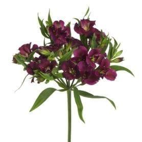 Charmelia Purple ™